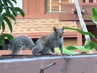 Gray squirrel Sciurus carolinensis
