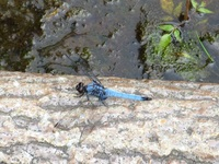 Orthetrum sp